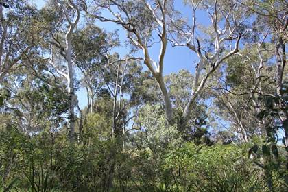 Newington Nature Reserve - Forest landscape - photo by Sydney Olympic Park Authority