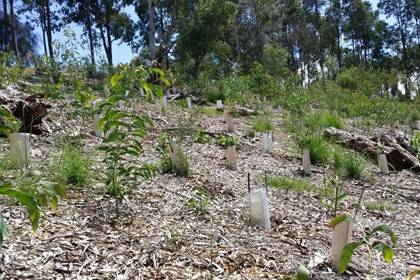 Kronos Hill - New shrub plantings throughout Kronos Hill - Photo by Sydney Olympic Park Authority