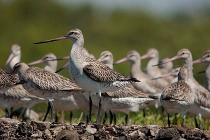 Waterbird Refuge - Bar-tailed Godwits - Photography by Geoff Hutchinson