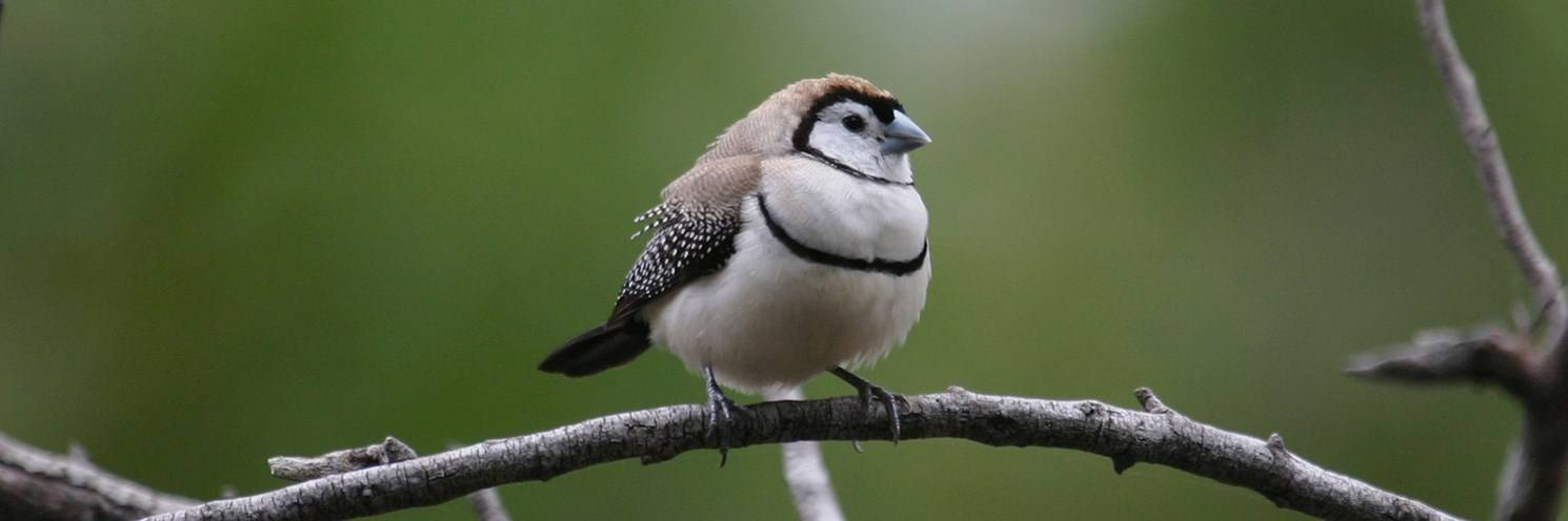 Sydney Olympic Park - Double-barred Finch - Photo by Nevil Lazarus