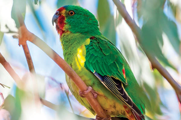 Swift Parrot, a critically endangered species with less than 2000 birds left in the wild CC-BY-SA-4.0 Gunjan Pandey